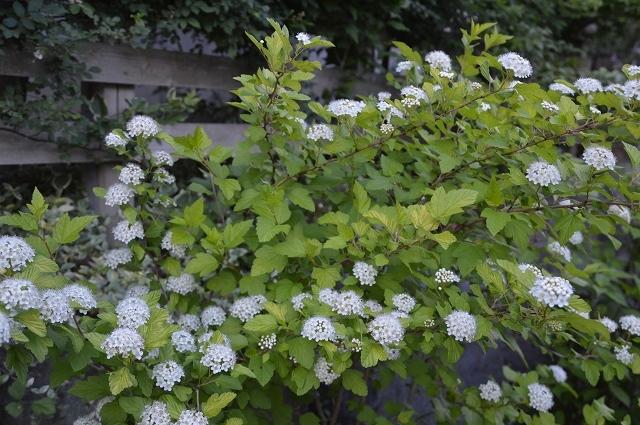 5月4日・11日の庭。_c0124100_18132391.jpg