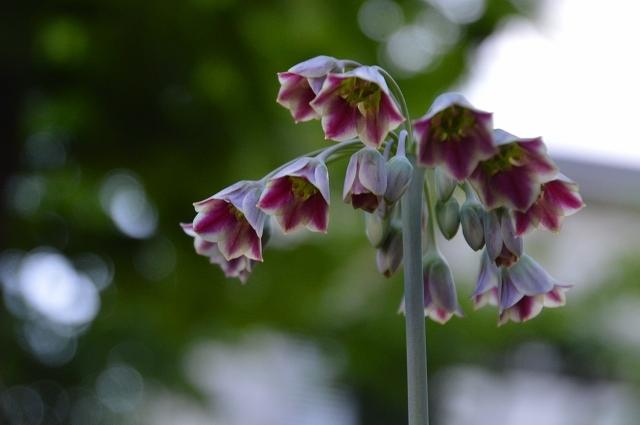 5月4日・11日の庭。_c0124100_18132806.jpg