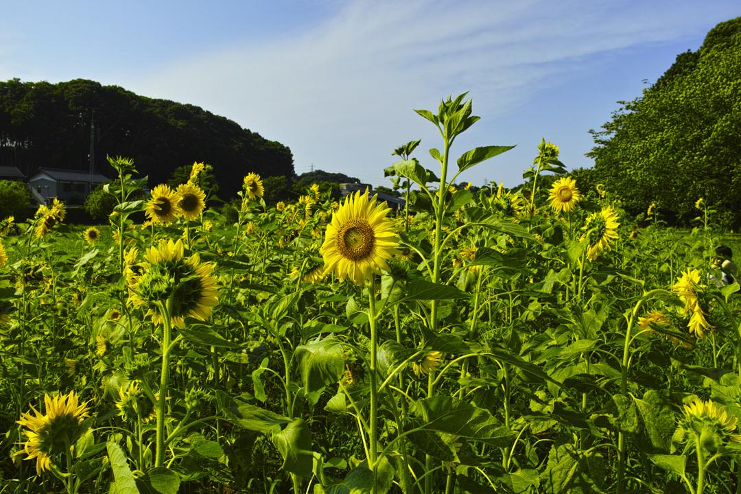 ヤブカンゾウ 夏の公園にて_c0223825_02205055.jpg