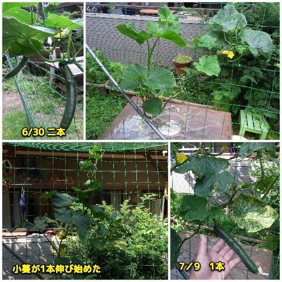 キュウリ水耕栽培_c0063348_20120253.jpg