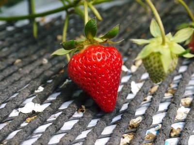熊本限定栽培品種のイチゴ『熊紅(ゆうべに)』 令和元年度の生産に向け苗床とハウスの様子を取材!前編_a0254656_17501914.jpg