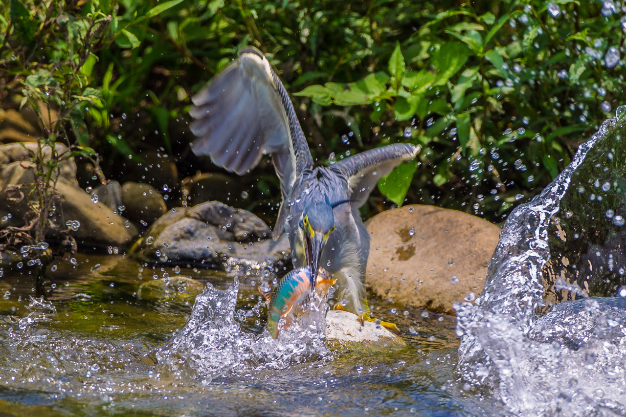 ササゴイのオイカワ漁_a0052080_21411685.jpg