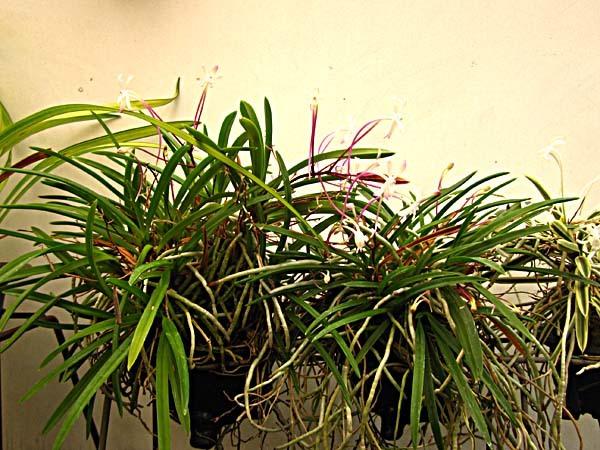 富貴蘭花の季節                         No.1802_d0103457_23423697.jpg