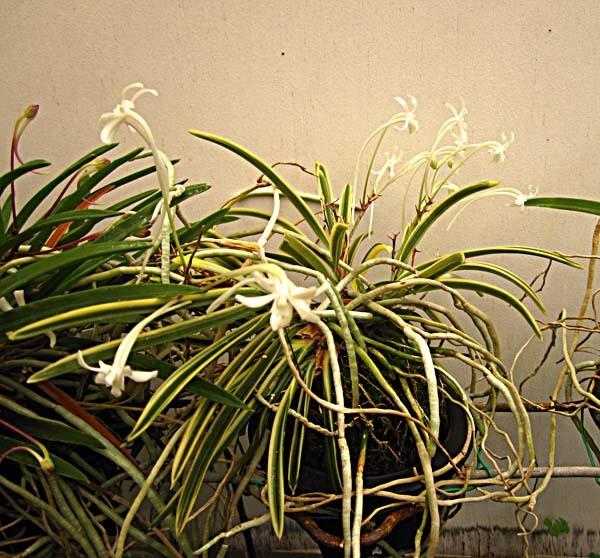 富貴蘭花の季節                         No.1802_d0103457_23424482.jpg