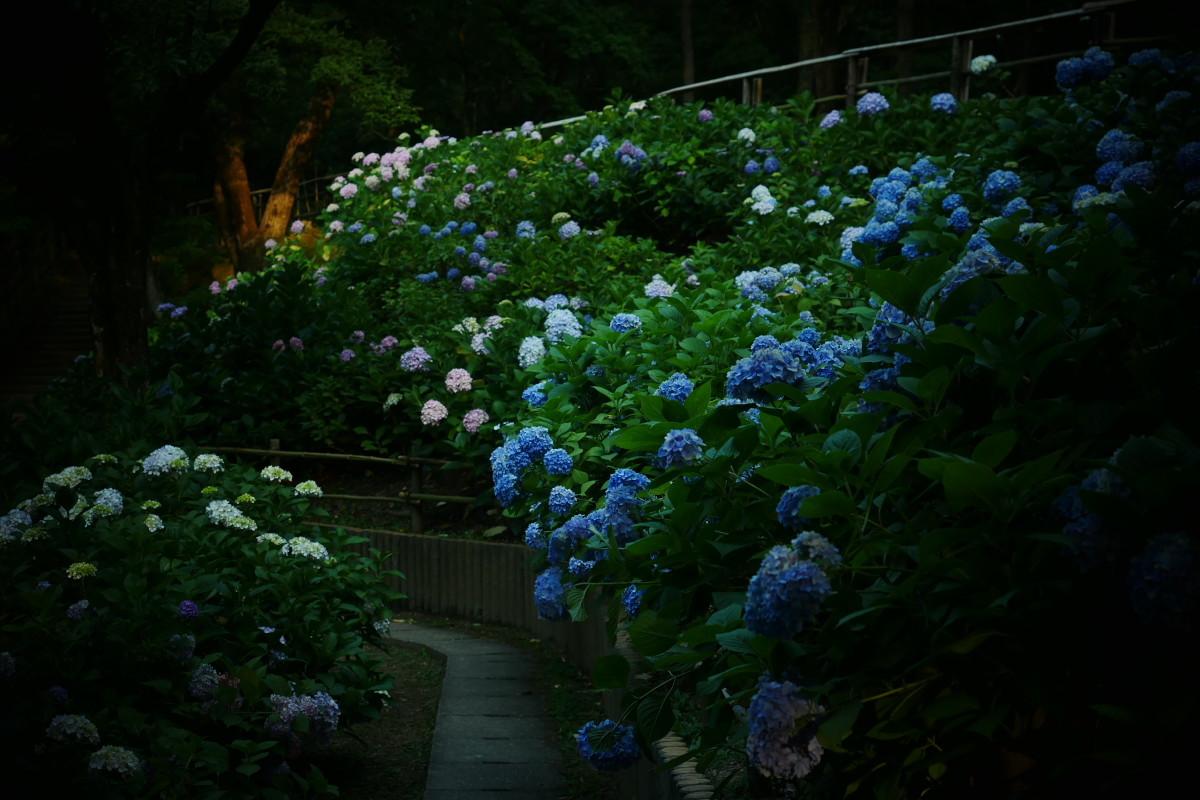 山田池公園   6/23 紫陽花_f0021869_23311149.jpg
