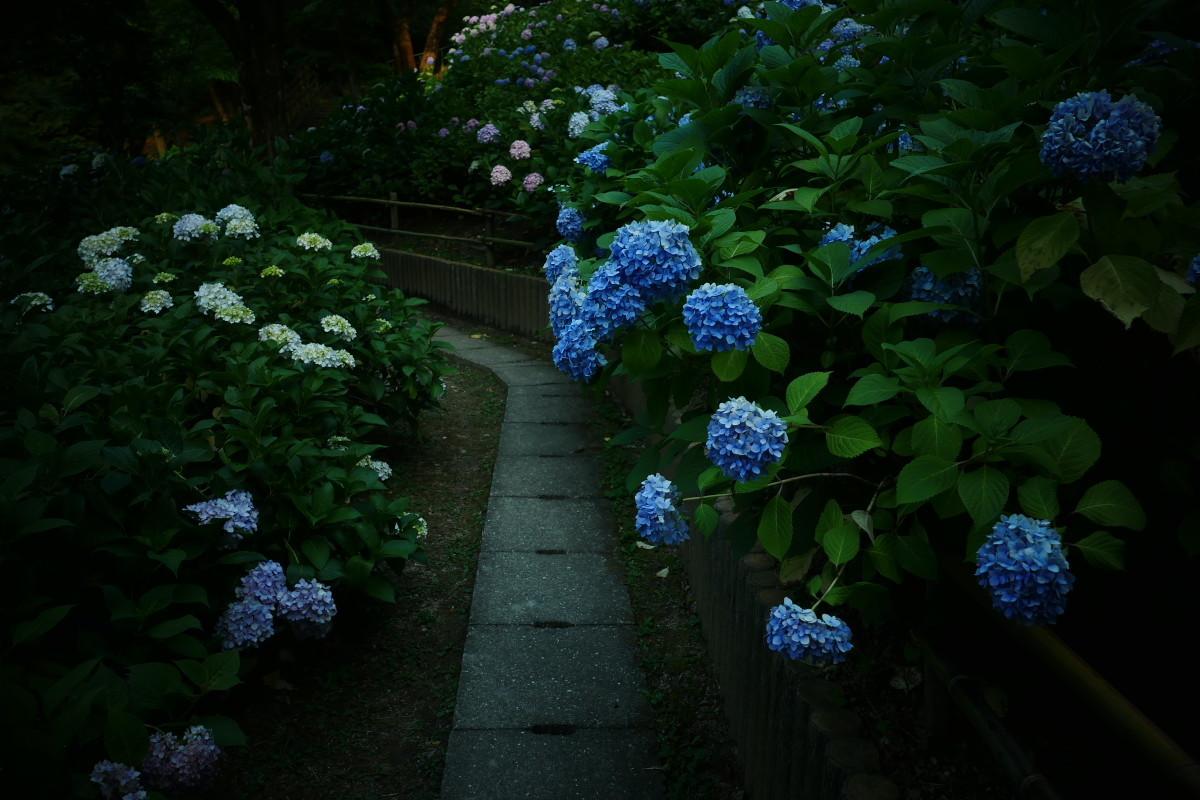 山田池公園   6/23 紫陽花_f0021869_23312657.jpg