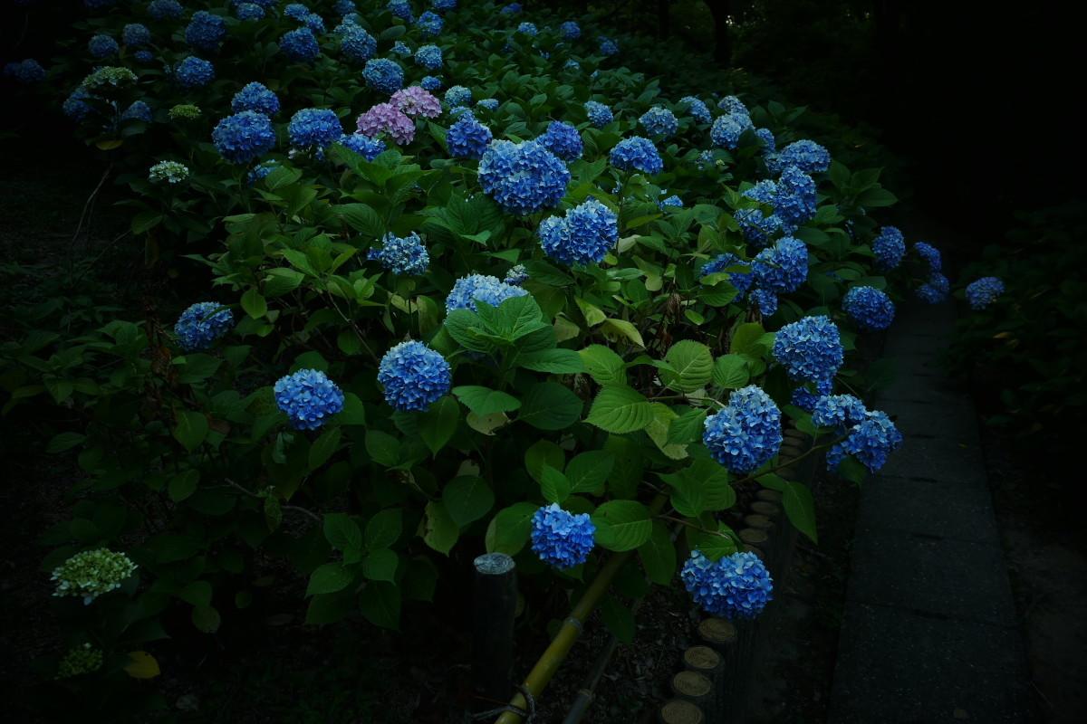 山田池公園   6/23 紫陽花_f0021869_23315264.jpg