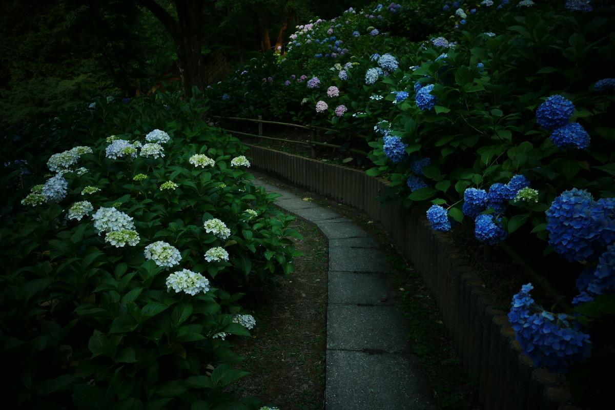 山田池公園   6/23 紫陽花_f0021869_23320811.jpg