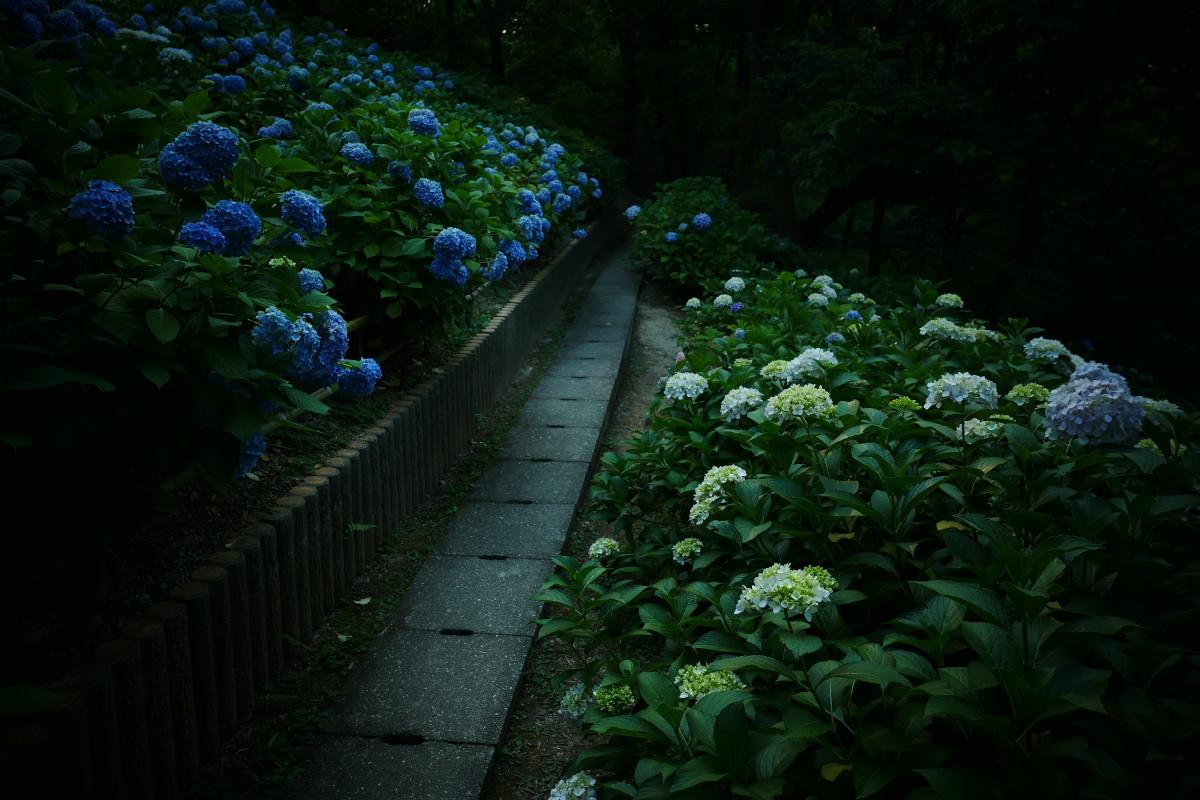 山田池公園   6/23 紫陽花_f0021869_23321989.jpg