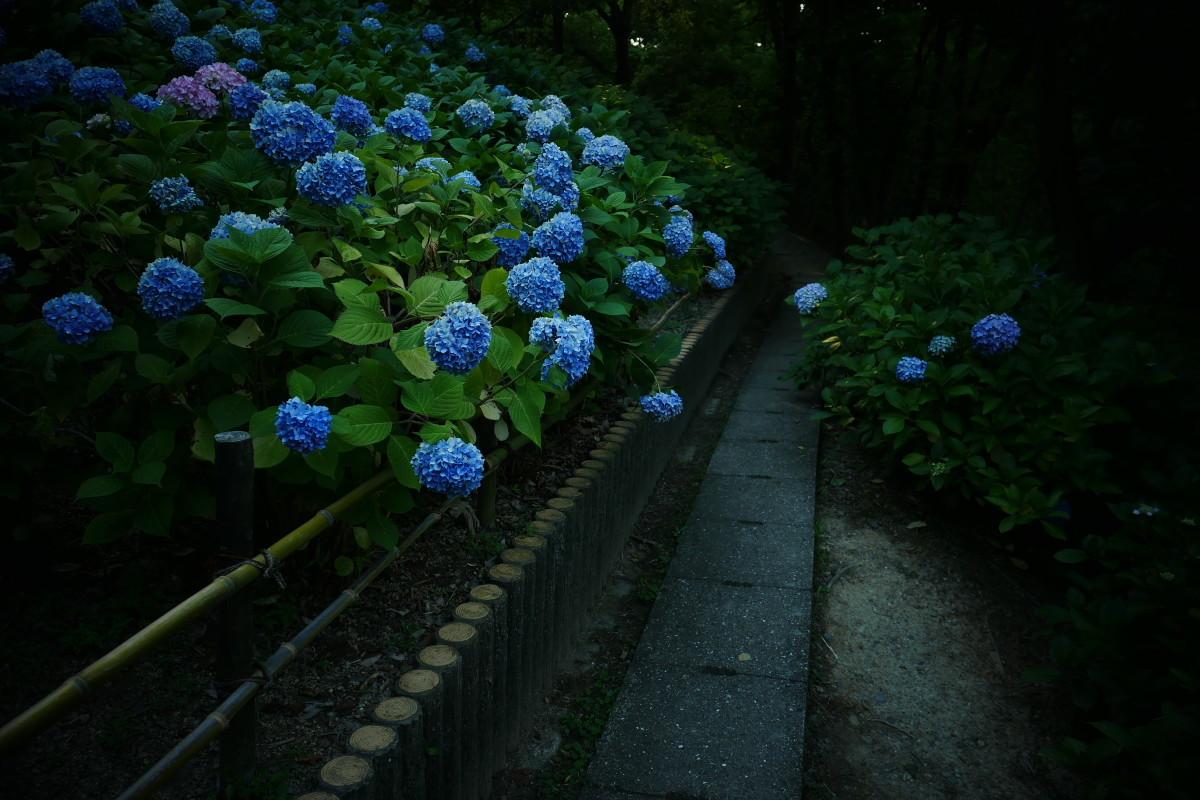 山田池公園   6/23 紫陽花_f0021869_23323107.jpg