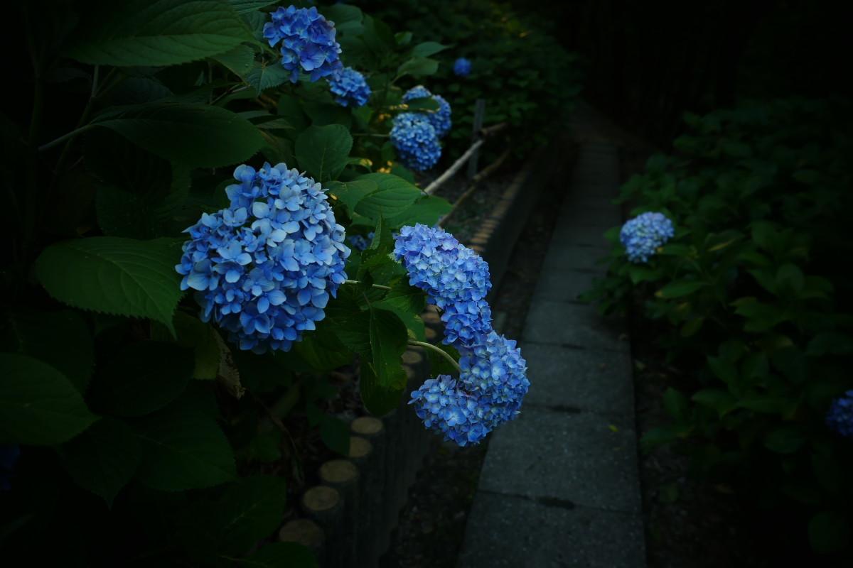山田池公園   6/23 紫陽花_f0021869_23323875.jpg