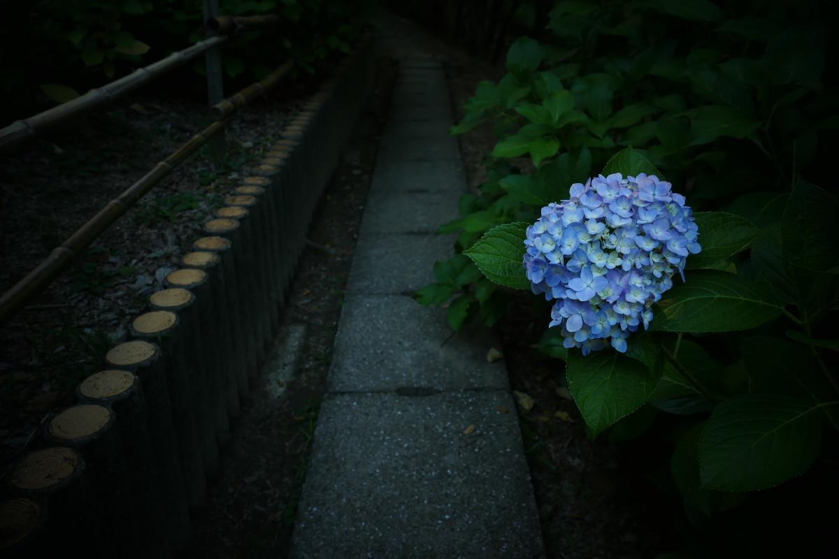 山田池公園   6/23 紫陽花_f0021869_23324518.jpg