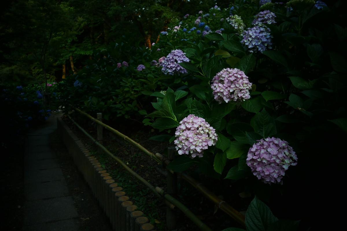 山田池公園   6/23 紫陽花_f0021869_23325424.jpg