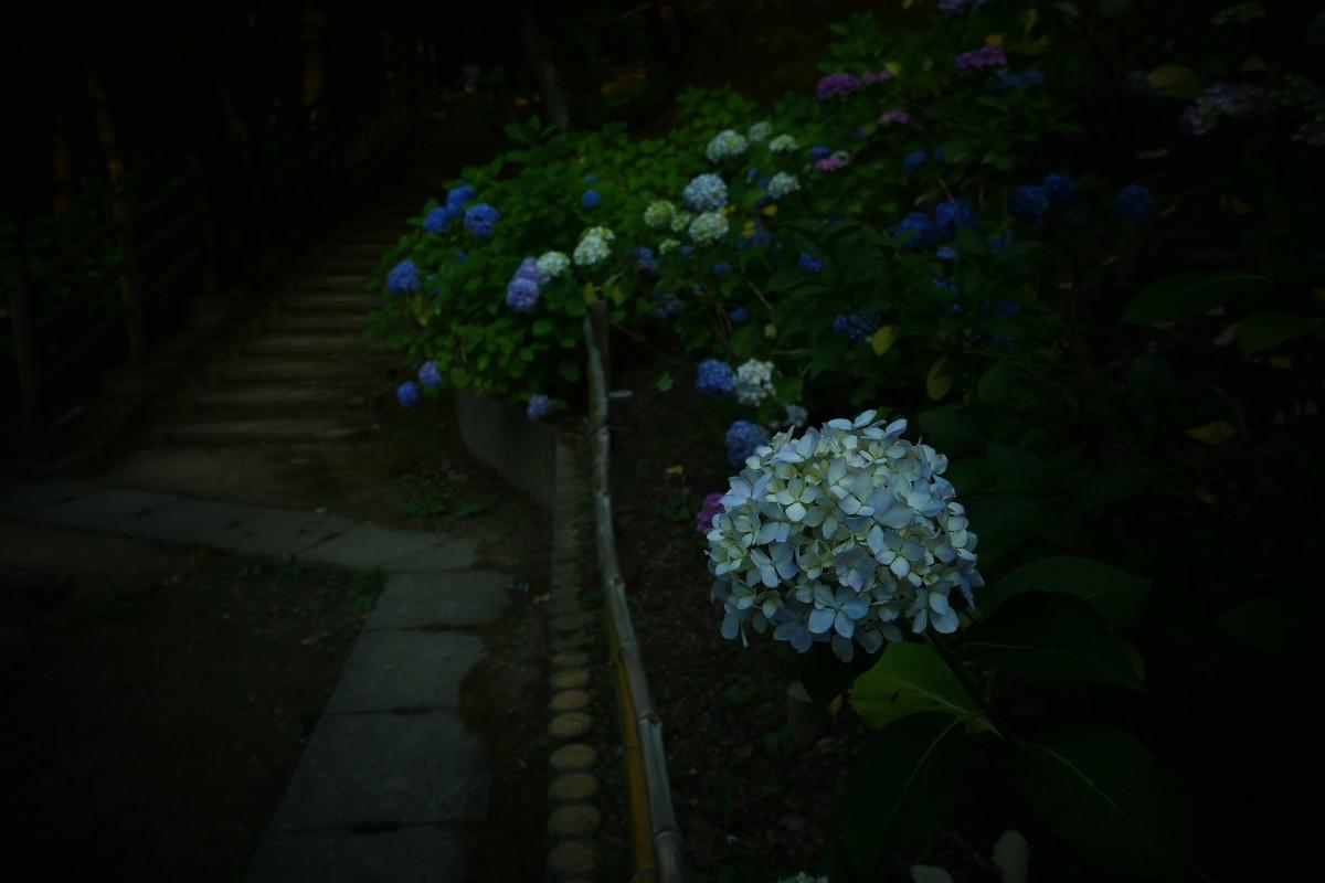 山田池公園   6/23 紫陽花_f0021869_23330433.jpg