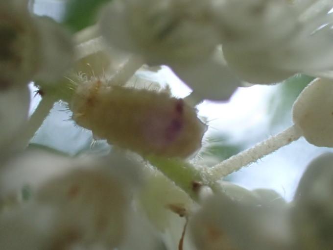 埼玉中部                          トラフシジミ幼虫2017/07/11_d0251807_12142988.jpg
