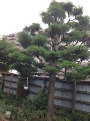 庭木剪定_c0186441_19321885.jpg