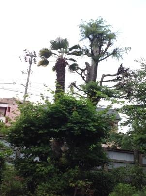 庭木剪定_c0186441_19392163.jpg