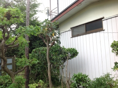 庭木剪定_c0186441_19465438.jpg