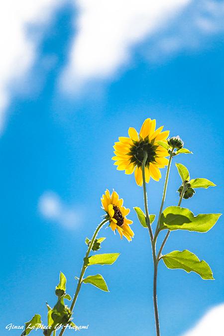 花のある風景 咲き始めのヒメヒマワリ_b0133053_00083777.jpg