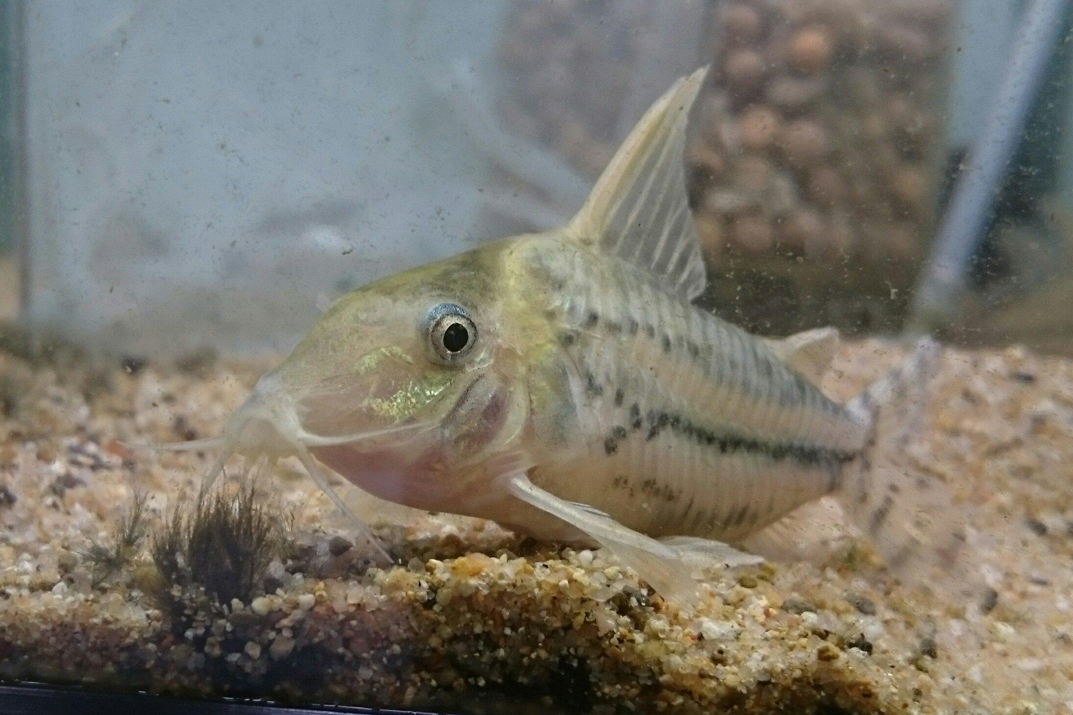 2017年熱帯魚入荷情報!Vol.13 速報!今週のTOKYO遠征便!_b0141806_04463442.jpg
