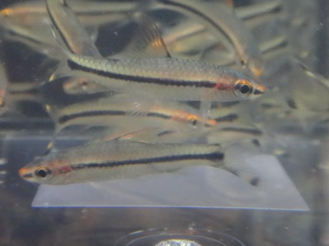 170713 熱帯魚・めだか・金魚・水草・観葉植物_f0189122_13315340.jpg