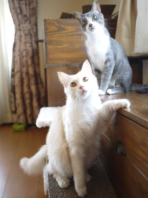 猫のお留守番 ワサビちゃん天ちゃん麦くん茶くん編。_a0143140_21593199.jpg