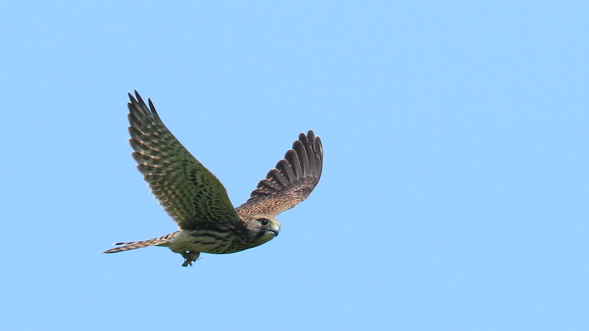 自分で狩が出来るようになった?相模大橋のチョウゲンボウ幼鳥_f0105570_2134467.jpg
