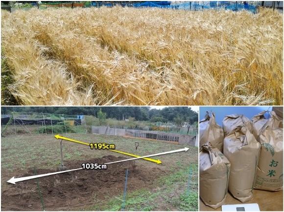 麦の収穫メモ_c0063348_18093166.jpg