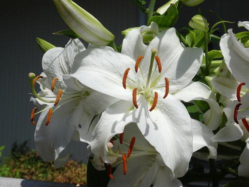百合が花盛り_d0193569_10543648.jpg