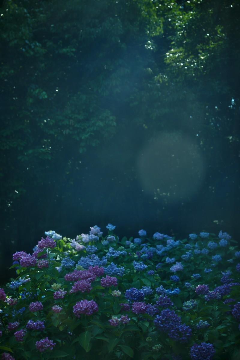 万博記念公園   6/19 紫陽花_f0021869_22280497.jpg