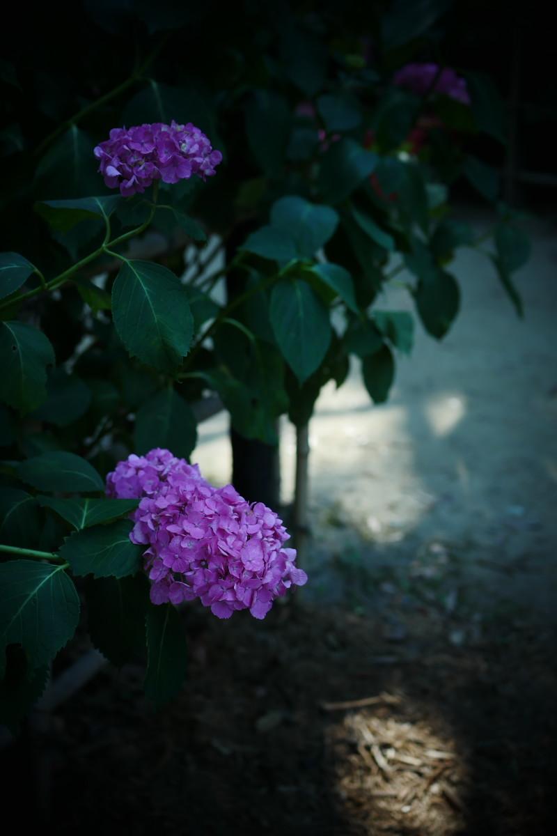 万博記念公園   6/19 紫陽花_f0021869_22285720.jpg