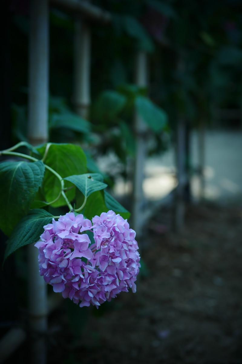 万博記念公園   6/19 紫陽花_f0021869_22291687.jpg
