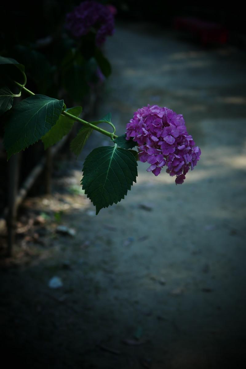 万博記念公園   6/19 紫陽花_f0021869_22294465.jpg
