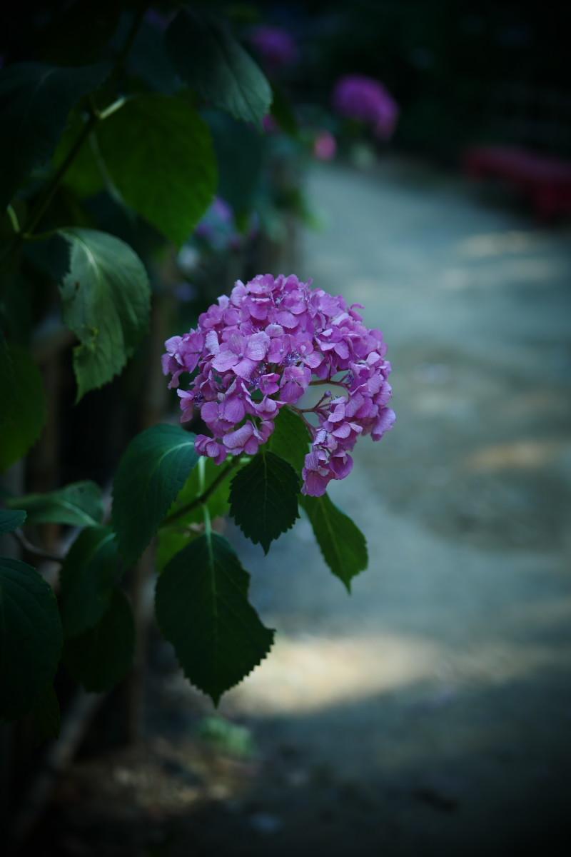 万博記念公園   6/19 紫陽花_f0021869_22303715.jpg