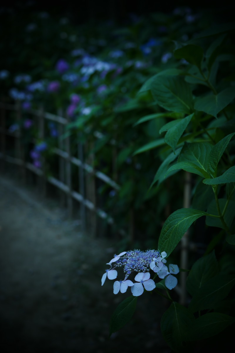 万博記念公園   6/19 紫陽花_f0021869_22305026.jpg