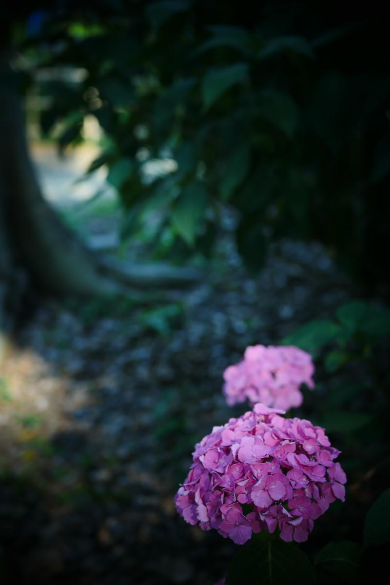 万博記念公園   6/19 紫陽花_f0021869_22312109.jpg
