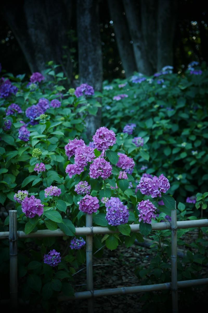 万博記念公園   6/19 紫陽花_f0021869_22313205.jpg