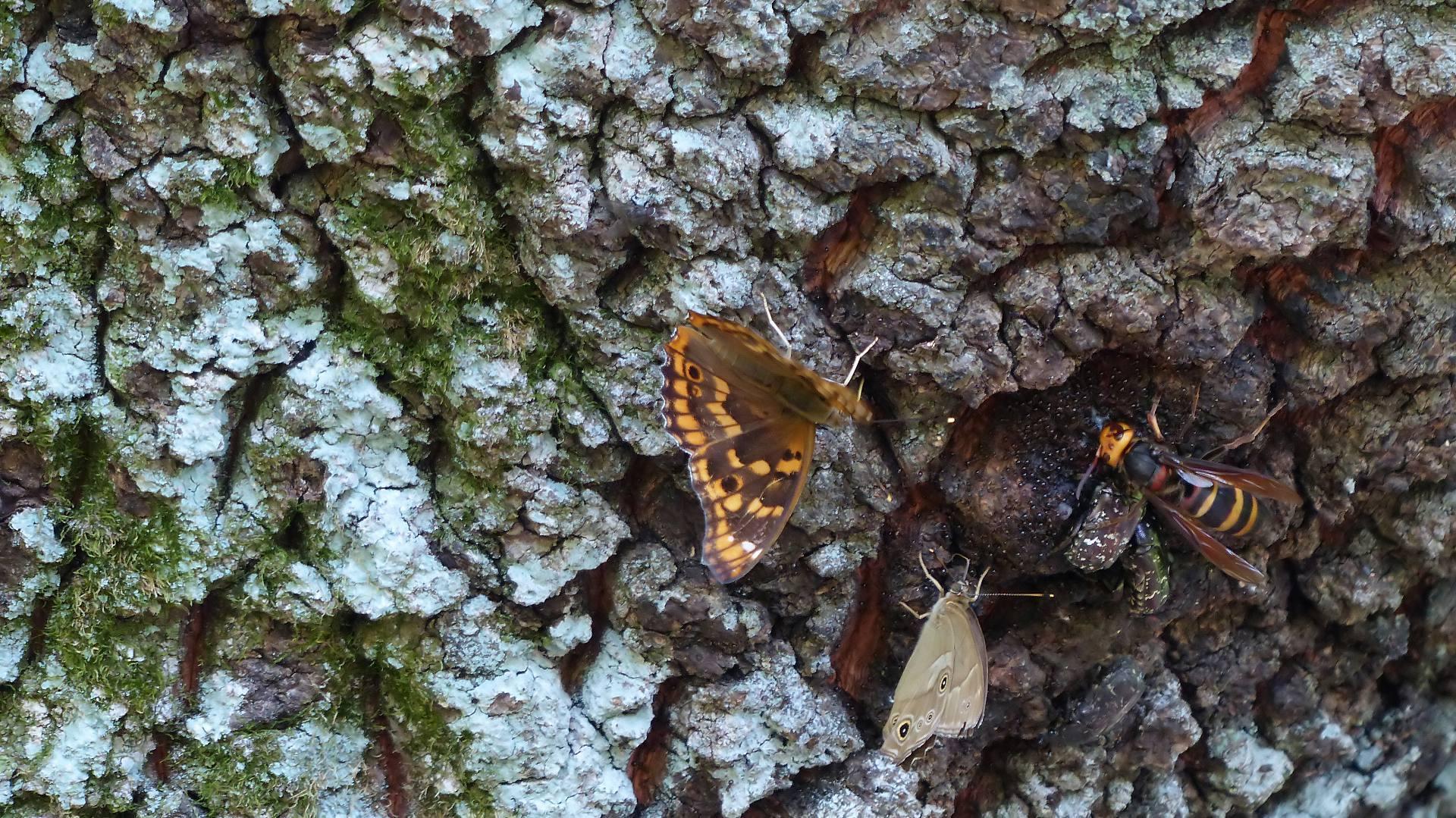 樹液に集う蝶と蜂_a0185081_22180580.jpg