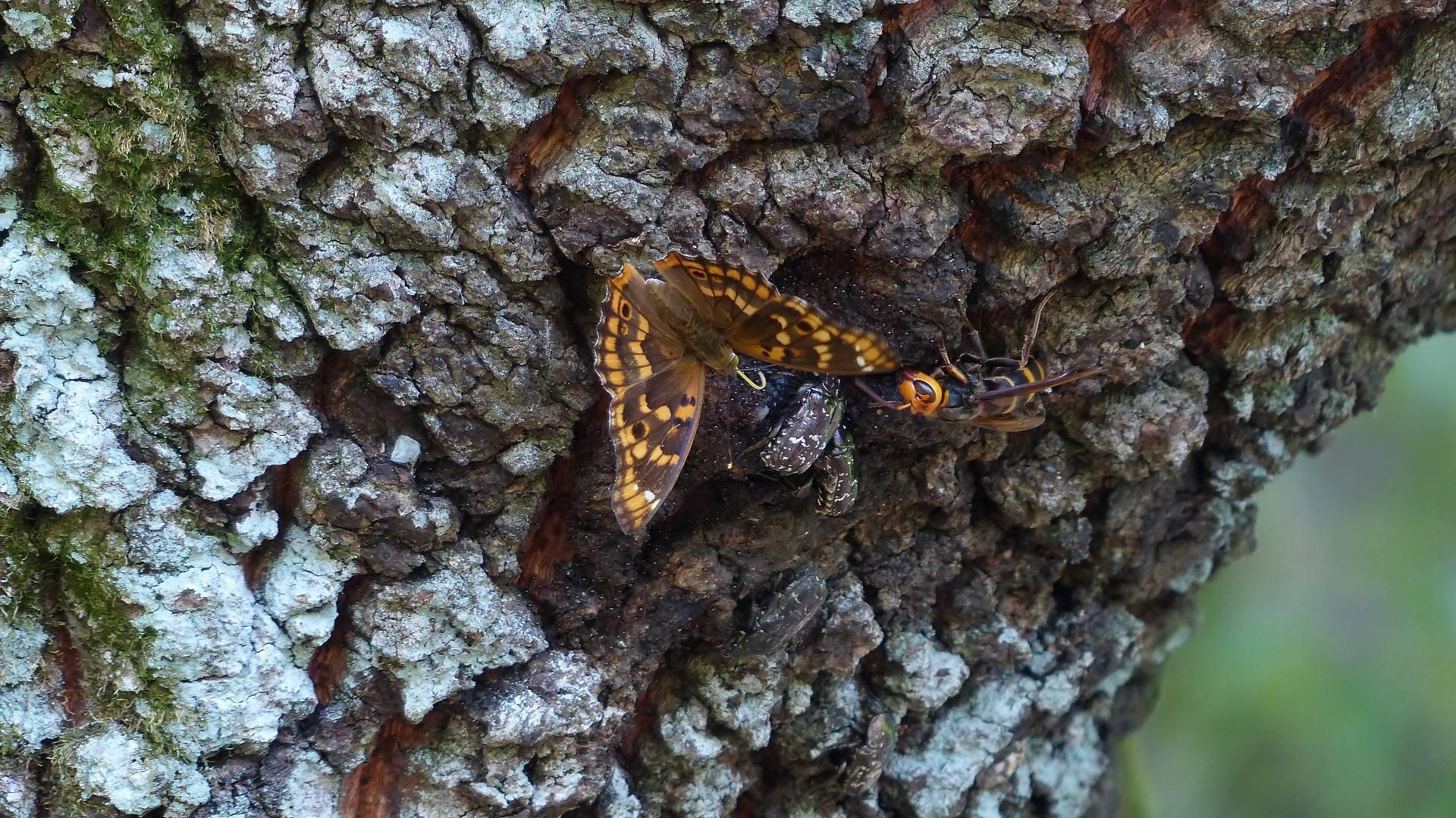 樹液に集う蝶と蜂_a0185081_22182147.jpg