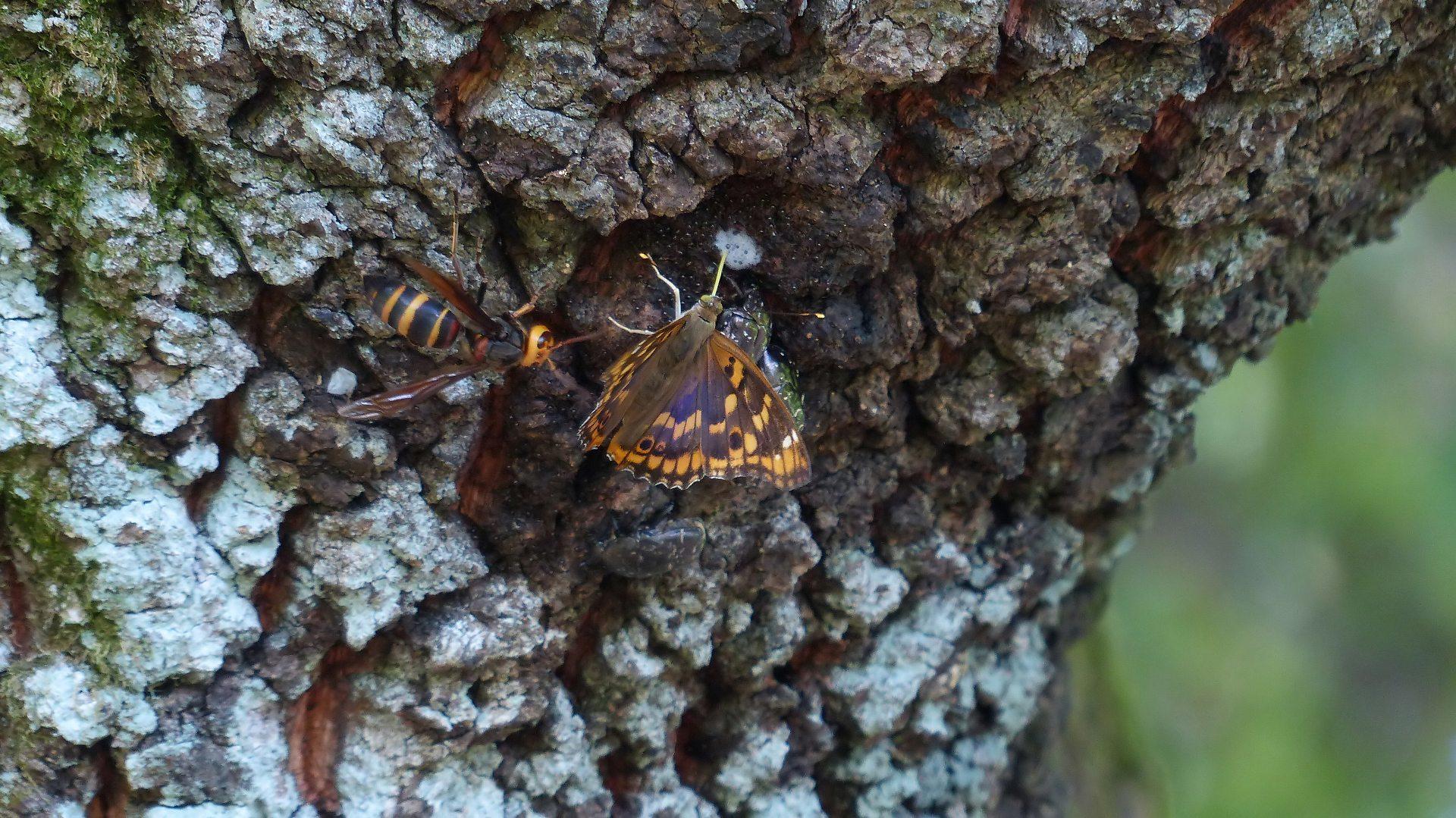 樹液に集う蝶と蜂_a0185081_22183746.jpg