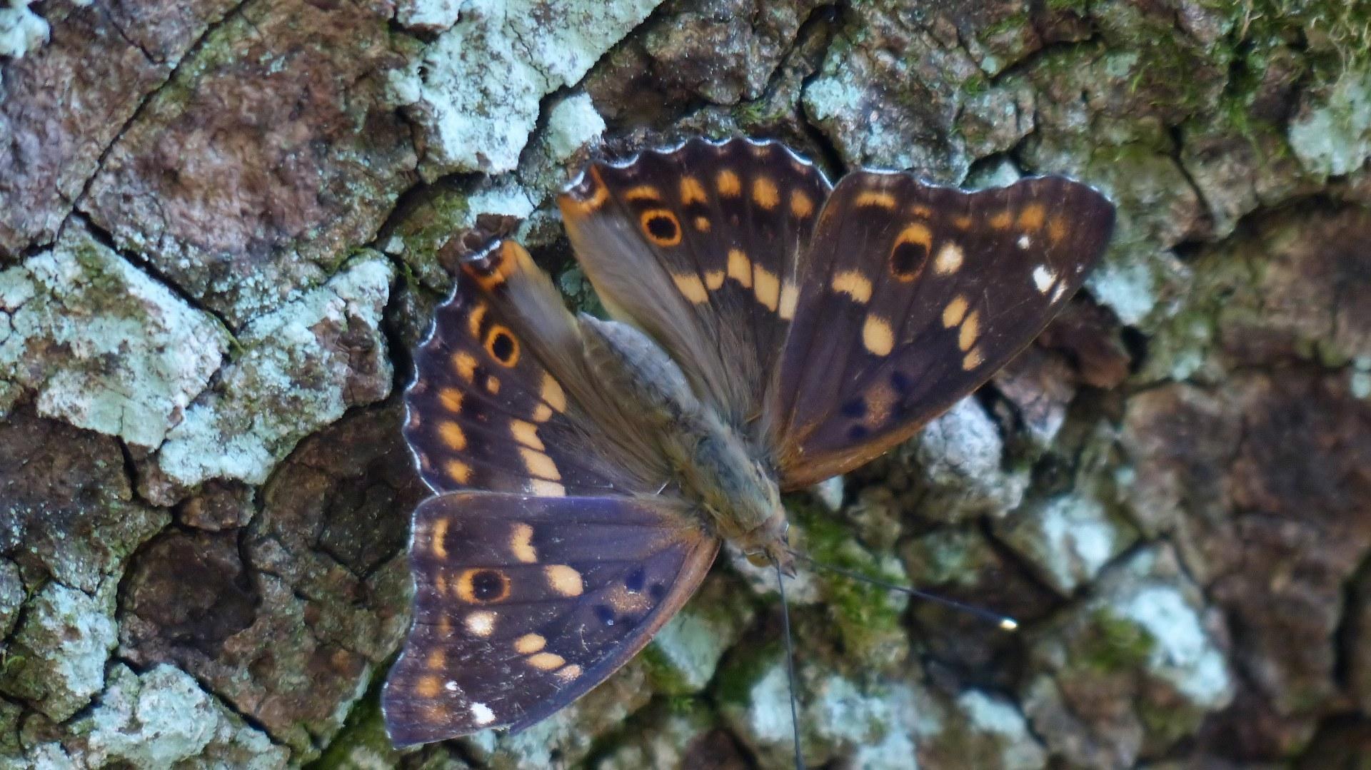 樹液に集う蝶と蜂_a0185081_22185202.jpg