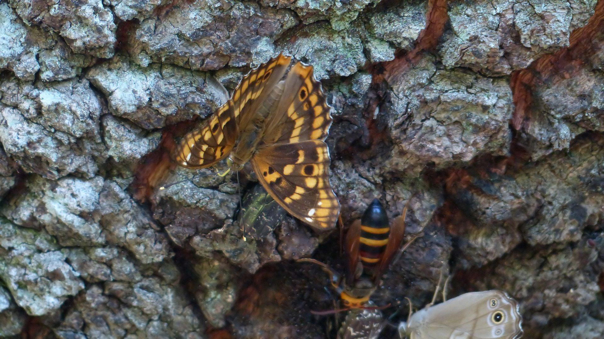 樹液に集う蝶と蜂_a0185081_22191069.jpg