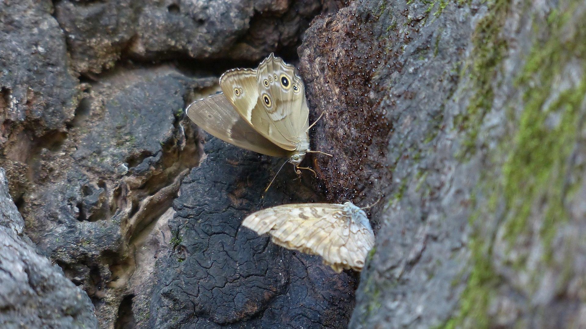 樹液に集う蝶と蜂_a0185081_22192552.jpg