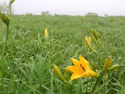 雄国沼・ニッコウキスゲの季節  のはずですが・・・・_a0096989_08263160.jpg