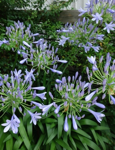 庭のアガパンサス_a0197730_09313481.jpg