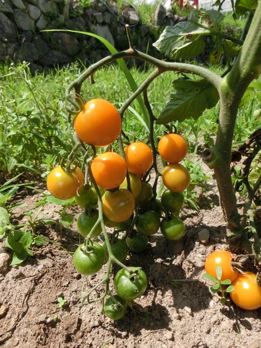 初収穫_a0199979_17593734.jpg