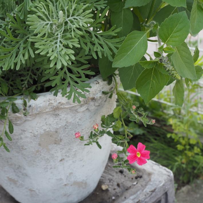 真夏の寄せ植え_a0292194_19511260.jpg