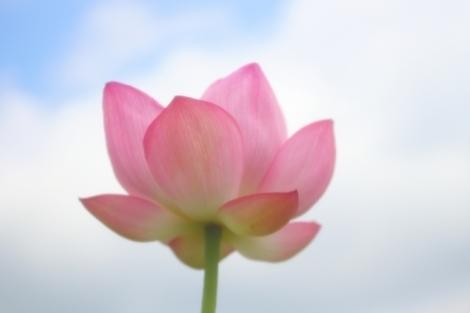 蓮の花のごとき人生を_a0259130_21411175.jpg