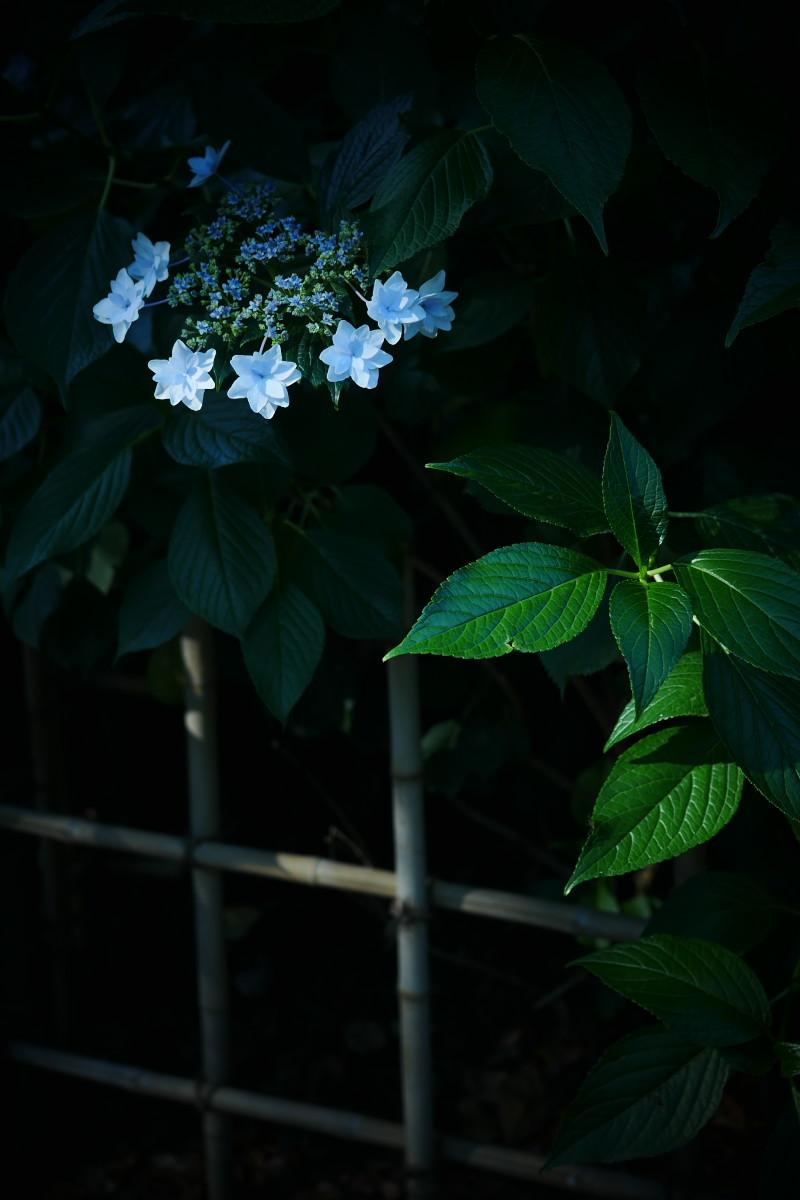 万博記念公園   6/19 紫陽花_f0021869_21200759.jpg