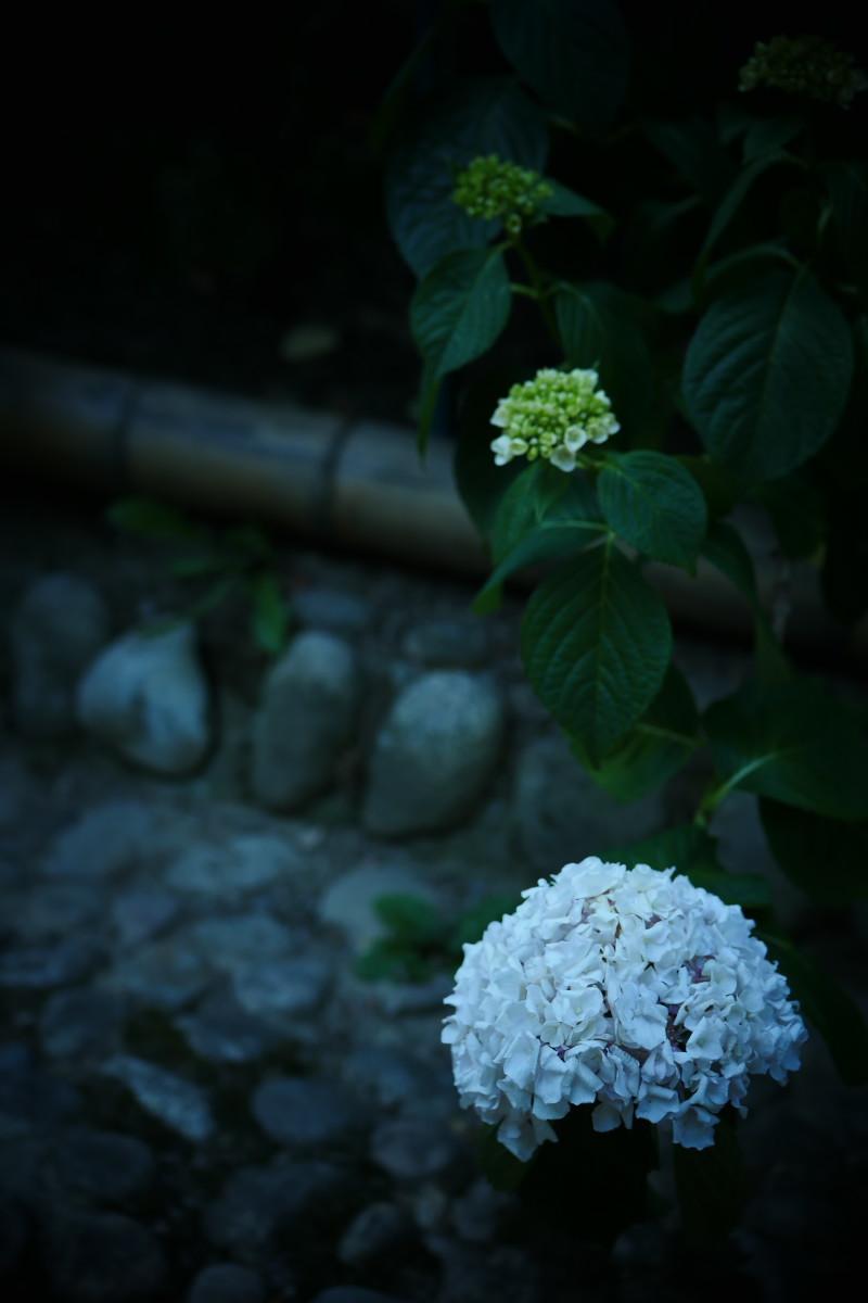万博記念公園   6/19 紫陽花_f0021869_21203202.jpg